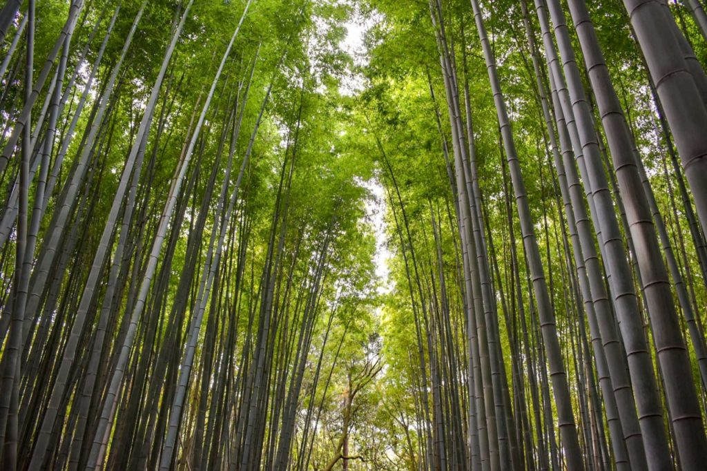 竹林の小径_聳え立つ竹林