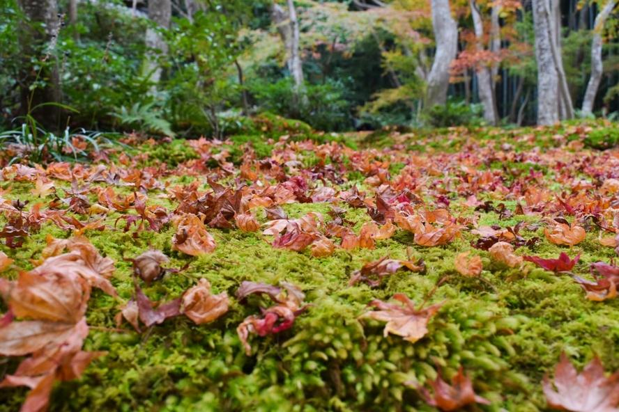 嵐山・祇王寺_散り紅葉と苔の庭園