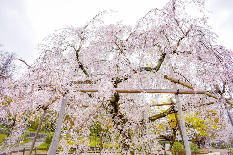 円山公園_春の公園と桜