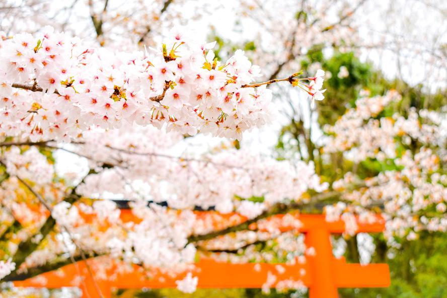 円山公園_春の桜