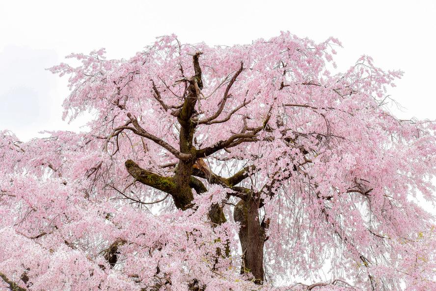 円山公園_祇園しだれ(祇園の夜桜)