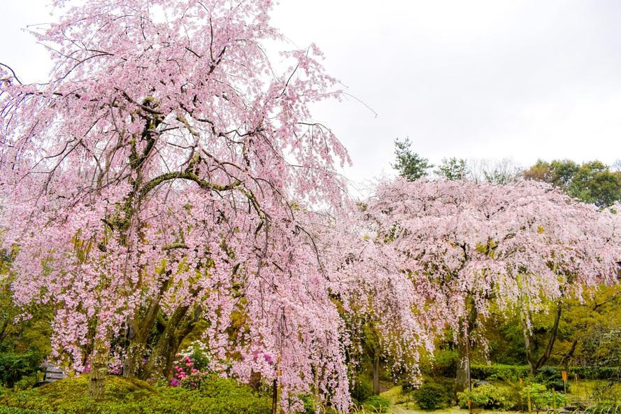 天龍寺の百花苑_春の桜