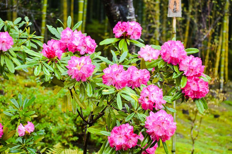 天龍寺の百花苑_春の花々