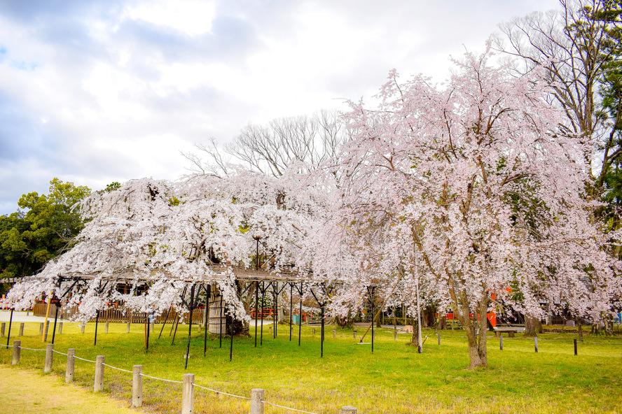 桜の名所・斎王桜と御所桜_上賀茂神社
