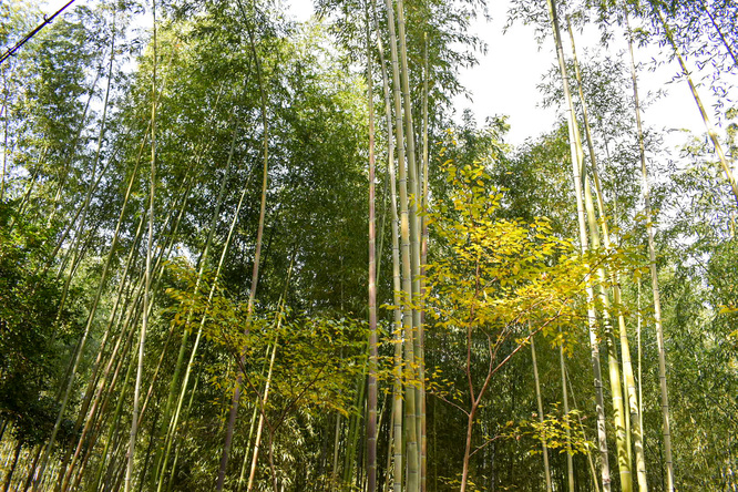 嵐山_竹林の小径