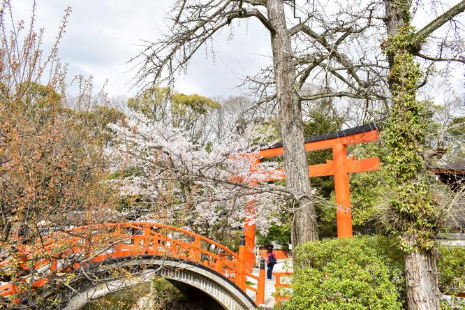 春の下鴨神社・鳥居と太鼓橋と桜と