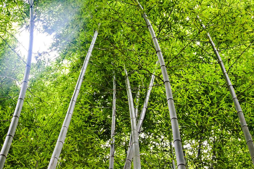 竹林の小径・見上げるとそこは…_京都・嵐山の自然