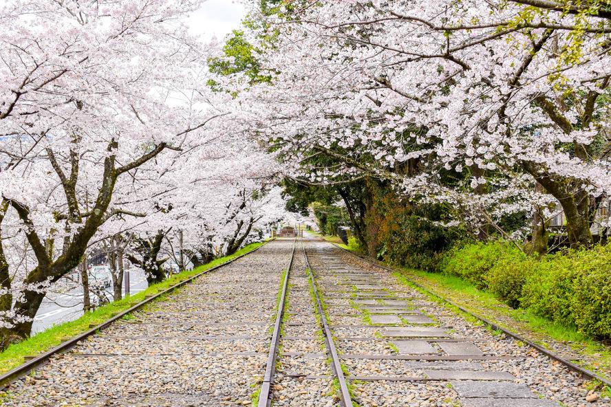 春の古都・京都の自然_鴨川と蹴上インクラインの桜