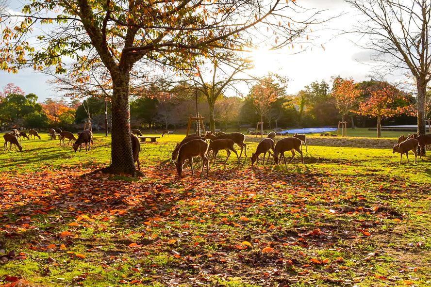 奈良公園の歴史_夕日と紅葉と神鹿