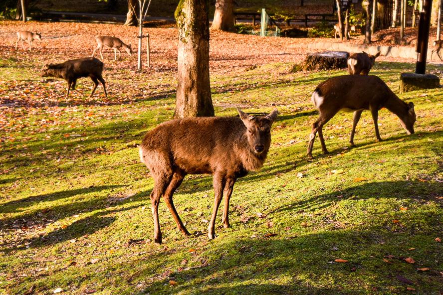 奈良公園の鹿_ボス神鹿