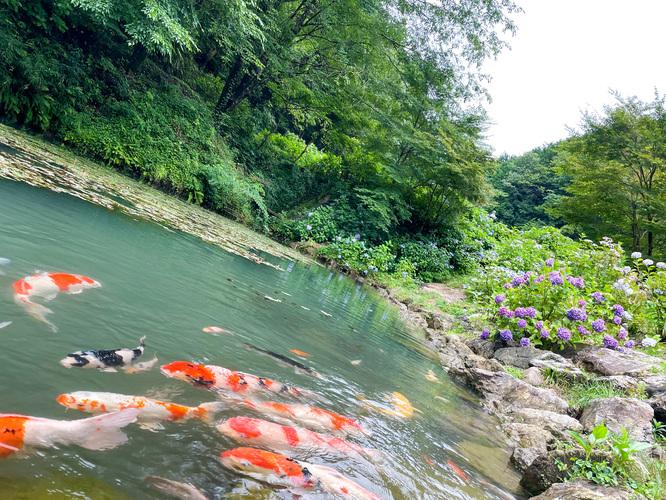 三光寺_マネの池の鯉たち