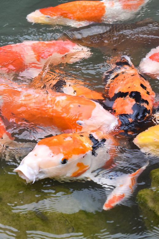 三光寺_マネの池のコイたち