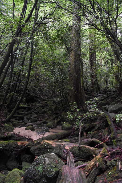 屋久島観光_縄文杉トレッキング_山道と霧の中の自然