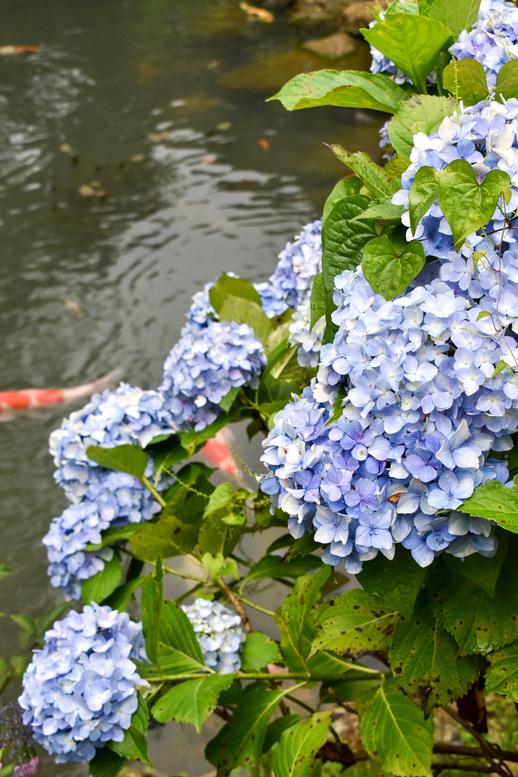 三光寺_マネの池の紫陽花
