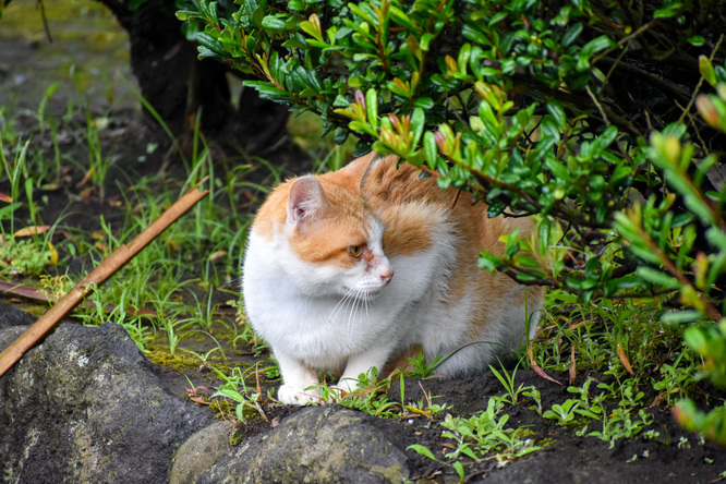 桜島観光_烏島展望所のネコ
