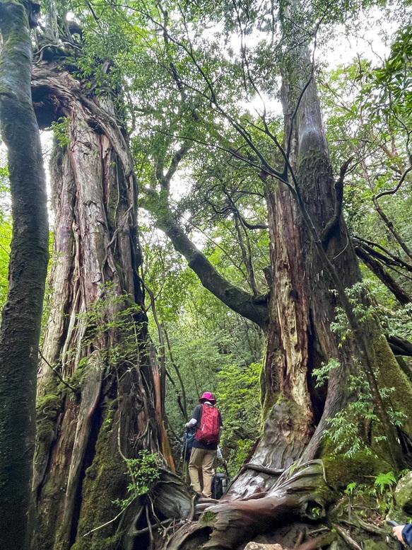 屋久島観光_縄文杉トレッキング_ 山道と屋久杉と自然