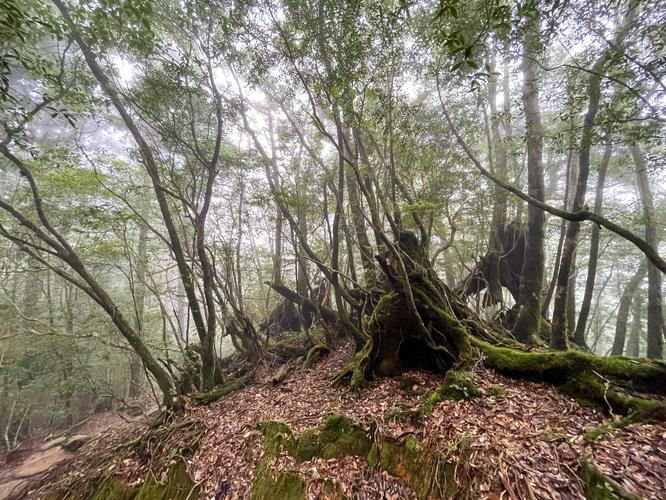 屋久島白谷雲水峡_霧がかる苔むす森