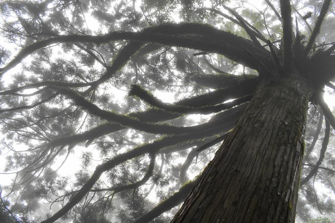 屋久島観光_縄文杉と霧の自然_メドューサ杉