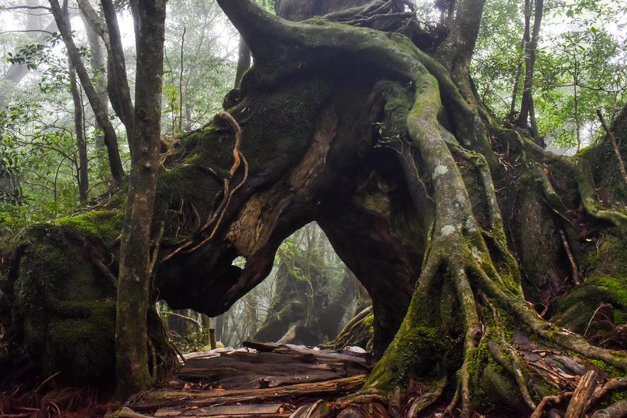 白谷雲水峡_くぐり杉の脚_もののけ姫の森_屋久島の見どころ