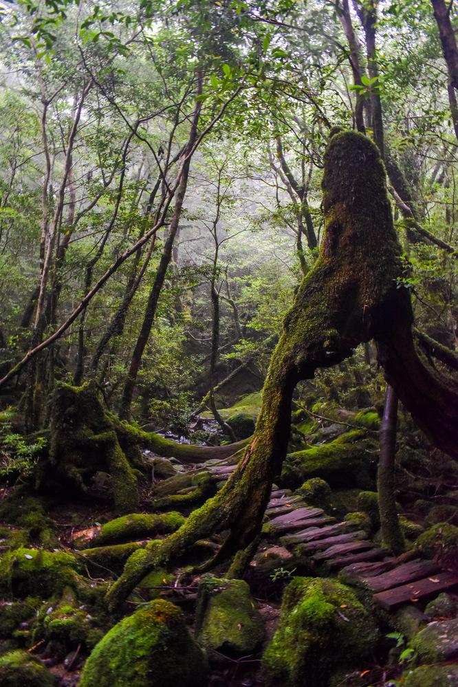 白谷雲水峡_奉行杉コースの脚杉_もののけ姫の森_屋久島の見どころ