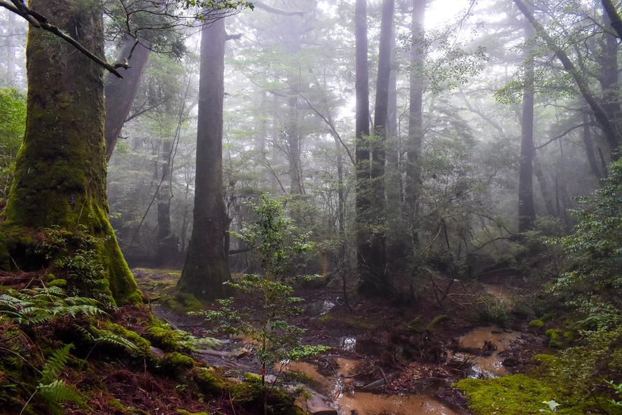 白谷雲水峡_苔むす森から太古岩_もののけ姫の森_屋久島案内