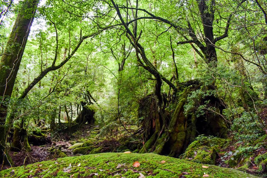 白谷雲水峡_苔むす森の道_もののけ姫の森_屋久島観光プラン