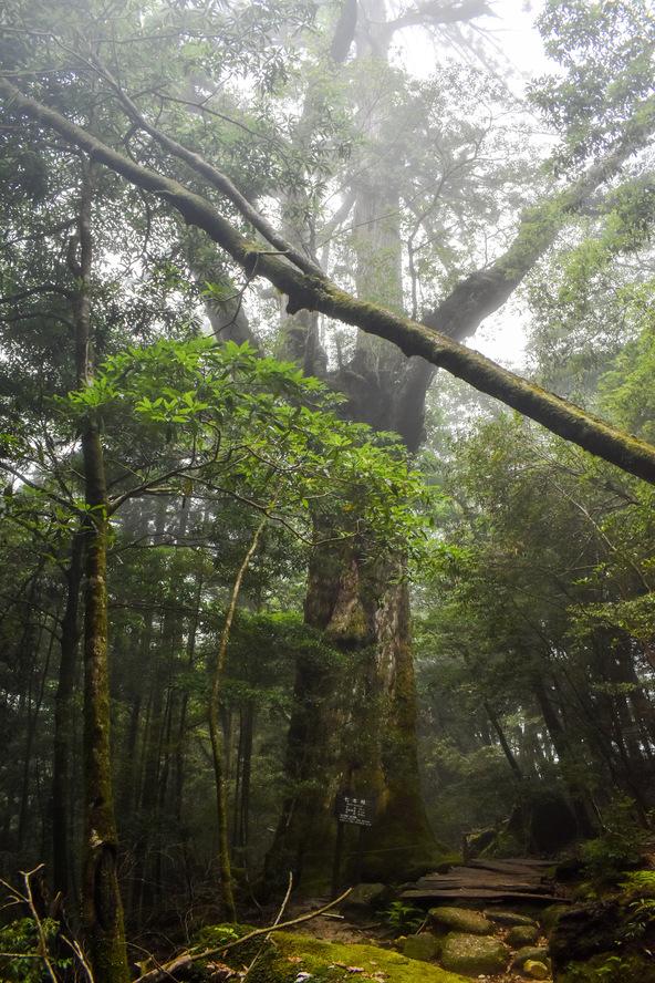 白谷雲水峡_霧と七本杉_もののけ姫の森_屋久島の見どころ