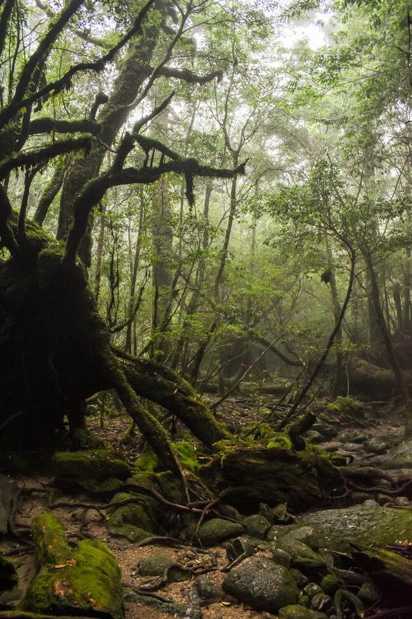 白谷雲水峡_太古の竜の遺骸_もののけ姫の森_屋久島の見どころ
