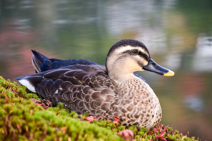 秋のもみじの永観堂_紅葉と放生池と鴨